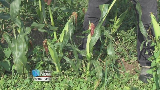 Suter says about 30 local high school and college students help pick the sweet corn every morning at around 6 a.m.