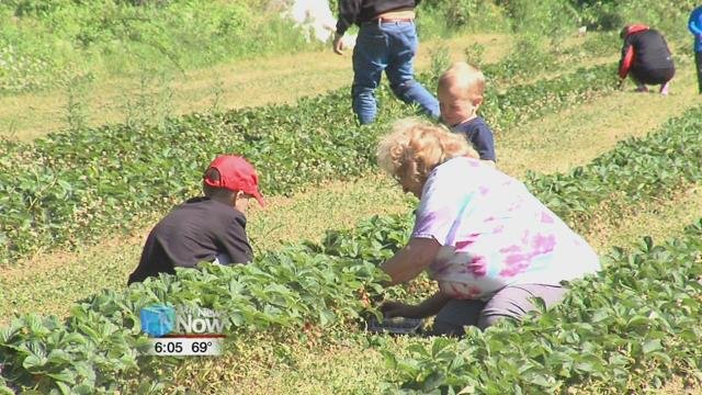 This is the first year that JK Orchard and Farm have welcomed the public in to pick their own strawberries.