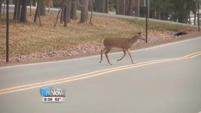 As we get into the thick of the fall season, more deer will start appearing on the roadways.